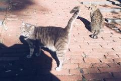 генуэзские-коты