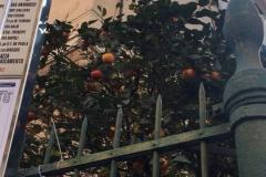 8-апельсиновые-деревья-Италия