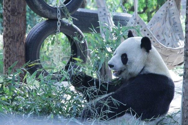Китай. Пекин. Панда в зоопарке
